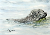 Scottish Seal - Watercolour on Arches NOT paper. 140lb. 1/4 imperial. SOLD